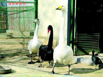 在潍坊动物园里,大天鹅(左一)正在和同伴晒太阳