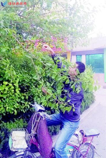 景观树上采桑葚 园林部门称树上喷过农药 --潍坊--网